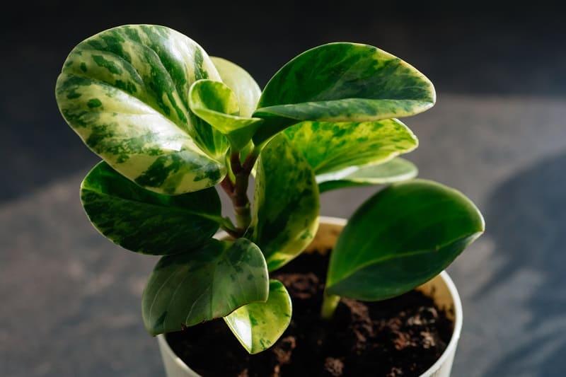 Peperomia Obtusifolia Care And Propagation
