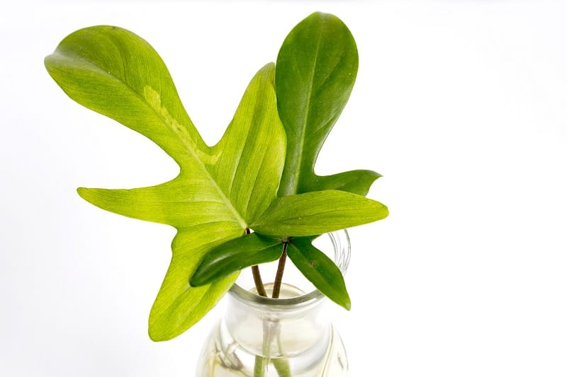 Philodendron Florida Ghost Care and Propagation