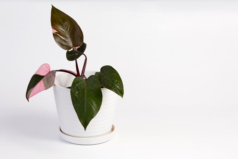 Philodendron Pink Princess Care and Propagation