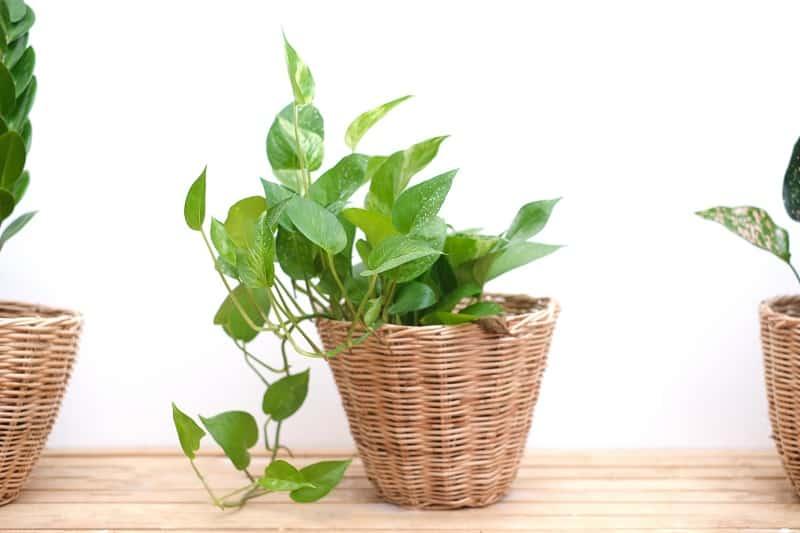 Pothos vs Philodendron