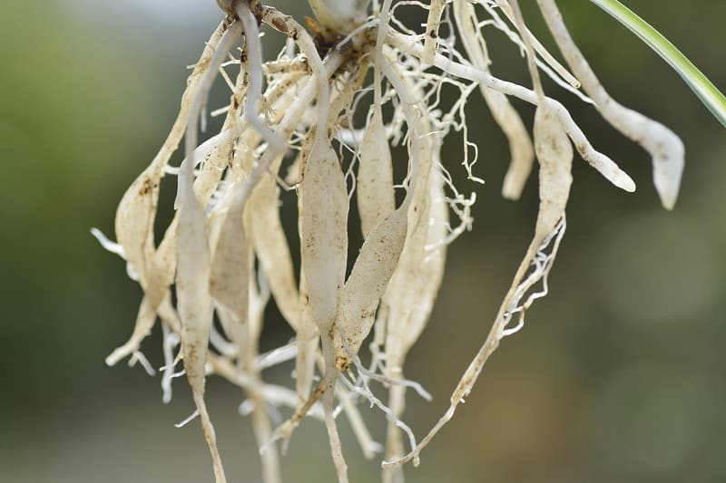 Spider Plant Root Rot